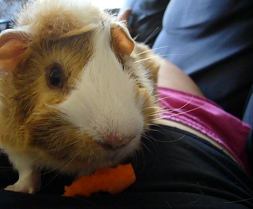 little baby poko loves carrots