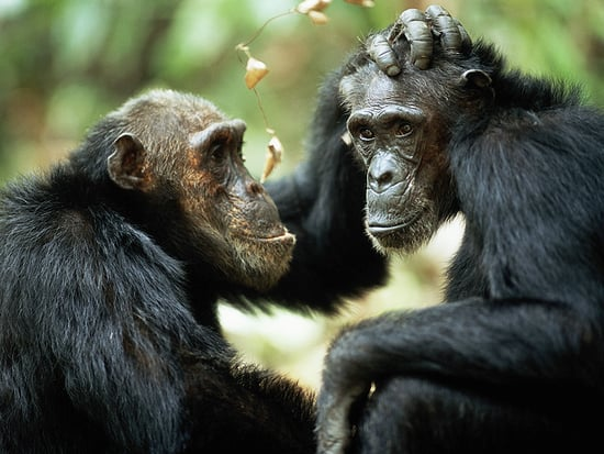 NIH Finally Ends Medical Research on Chimps, Frees 50 Apes