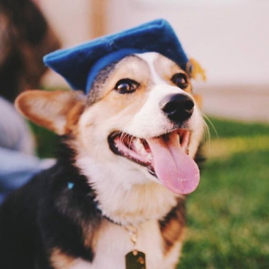 Corgi Graduates From UCLA