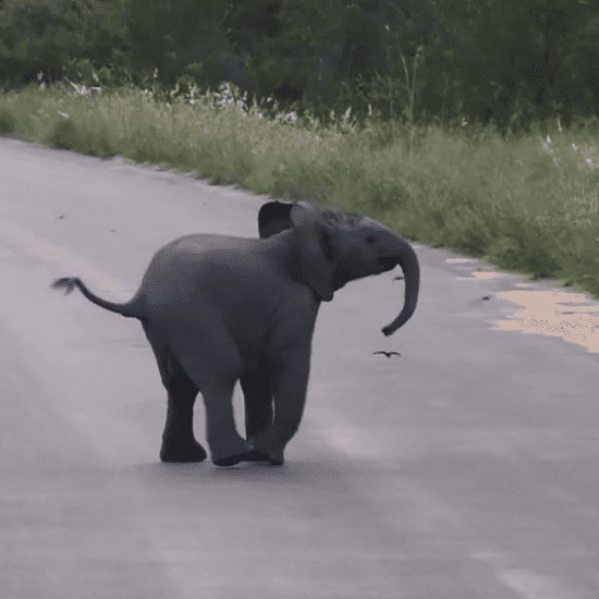 Baby Elephant Playing With Birds | Video