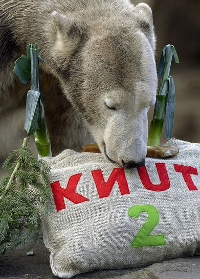 Two-year-old Knut takes a whiff of his birthday goodies.