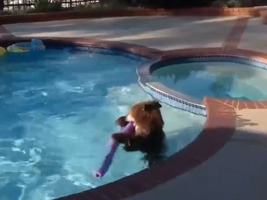 Screw Picnic Baskets, Bears Want to Steal Your Swimming Pool