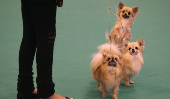 Crufts-Winning Chihuahua Stolen in England