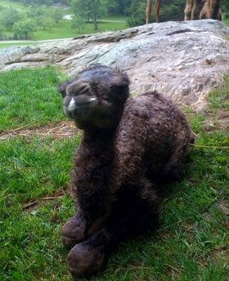 Martha Twitters About Neighbor's Newborn Camel