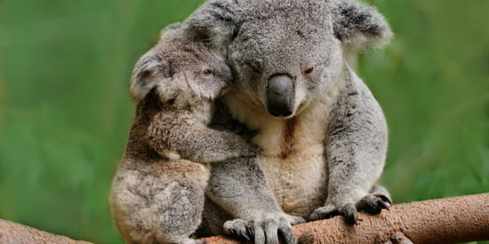 This Planned Highway Could Wipe Out 200 Koalas