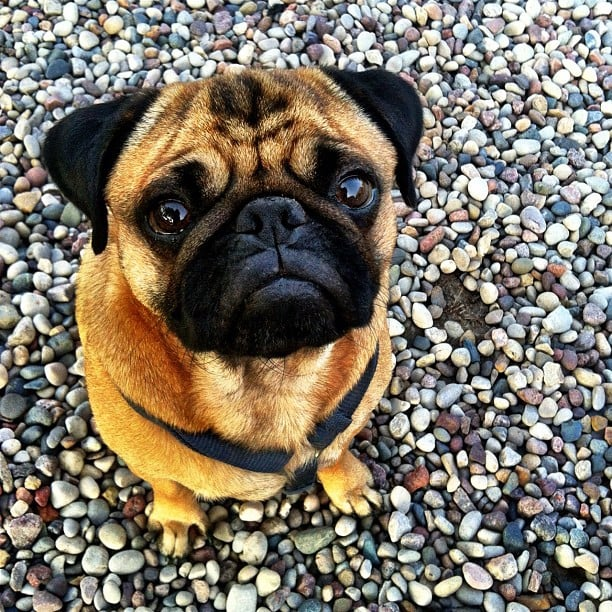 Everybody loves Pugs, and you'll definitely fall in love with Darwin, who goes wherever the road takes him. Source: Instagram user wanderlustpug