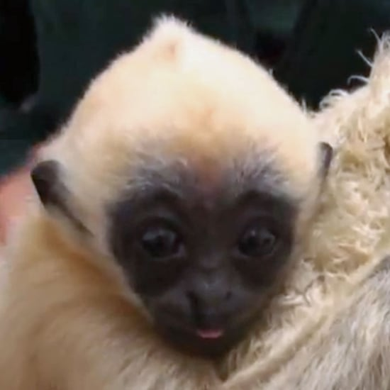 White-Cheeked Gibbon Zoo Baby