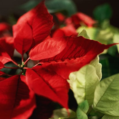 Do You Decorate With Poinsettias?