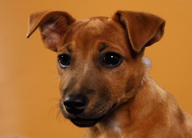 Jack Russell/pug mix Baskin may just bask in the glory of an MVP win! Source: Animal Planet