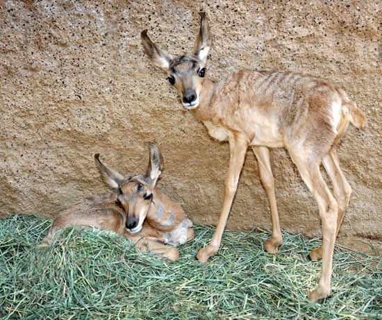 Baby Peninsular Pronghorns at LA Zoo
