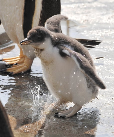 Pictures of Gentoo Penguins