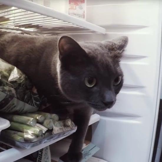 Cat in Fridge | Video