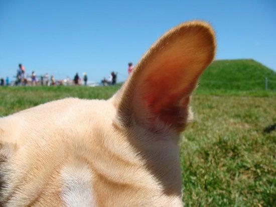 Keeping Pets Ears Clean