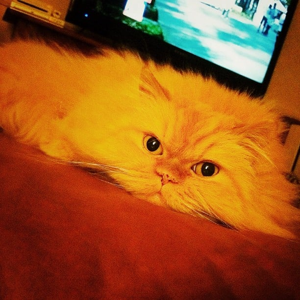 PopSugar's Katie Henry's other cat, the very aptly named Mushie, is a Red Persian.