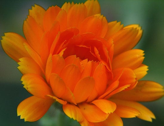 Definition of Calendula