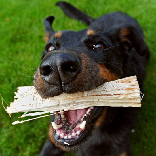 Can Dogs Play With Sticks