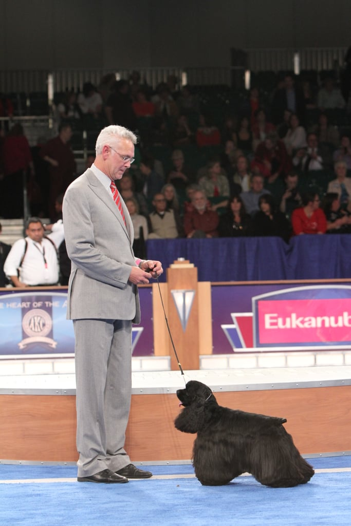 Beckham (GCH CH Casablanca's Thrilling Seduction) bends it for the win in the Sporting group. Source: AKC/Robert Young