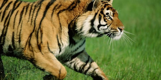 Tiger Attacks And Kills Zookeeper At An Animal Park In Spain