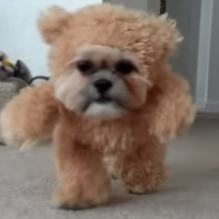 Video of Dog Dressed as Teddy Bear
