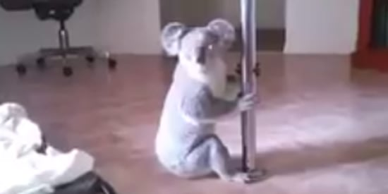 Woman Comes Home To Find 'Pole-Dancing' Koala