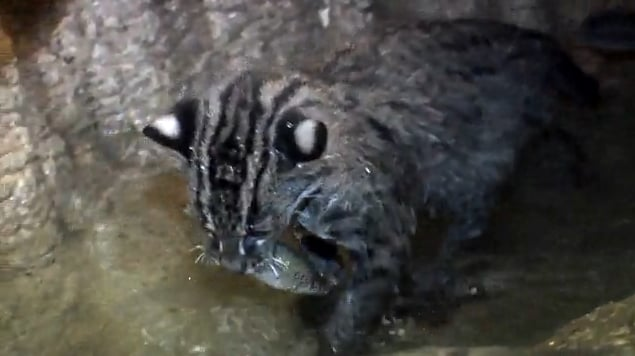 Fishing Cat Kittens