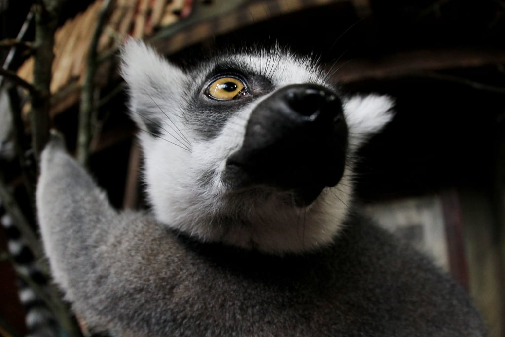 Are you looking at my tail? A ring-tailed lemur waits his turn at Hagenbeck Zoo in Hamburg, Germany.