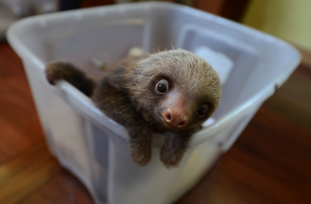 This baby two-toed sloth at the Penshurt, Costa Rica Sloth Sanctuary hopes to make a great — but slow — escape.