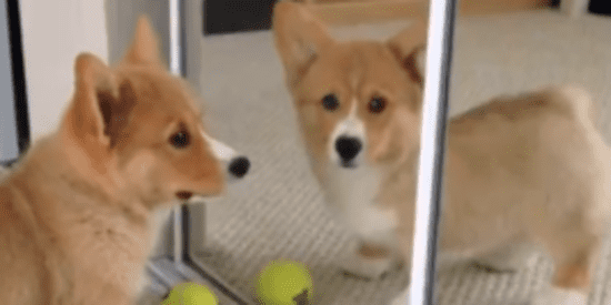 Corgi Puppy Is Charmed And Bewitched By Furball In The Mirror