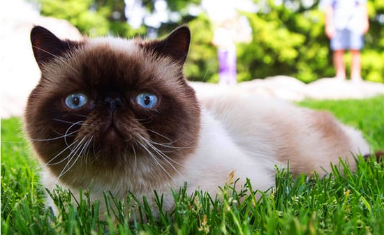 Introducing Pugsley, an Otherworldly Exotic Shorthair