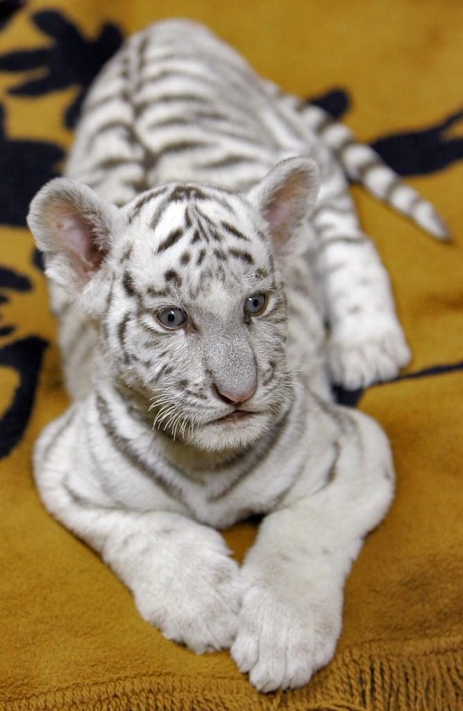 Baby Tiger Cuteness