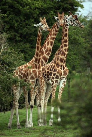 Rothschild giraffes can be distinguished from Masai giraffes by their less-jagged markings, their cream-colored background, and their lack of markings below the knees.