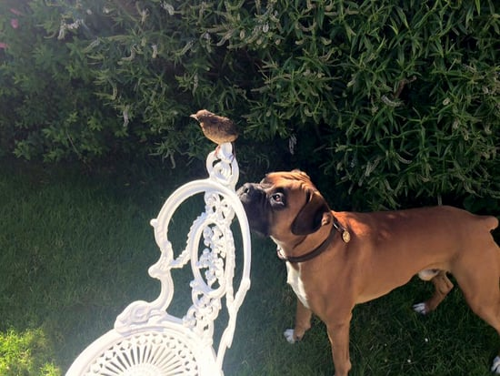 Giant Dog Pals Around with Orphaned Baby Bird, Helps It Learn to Fly