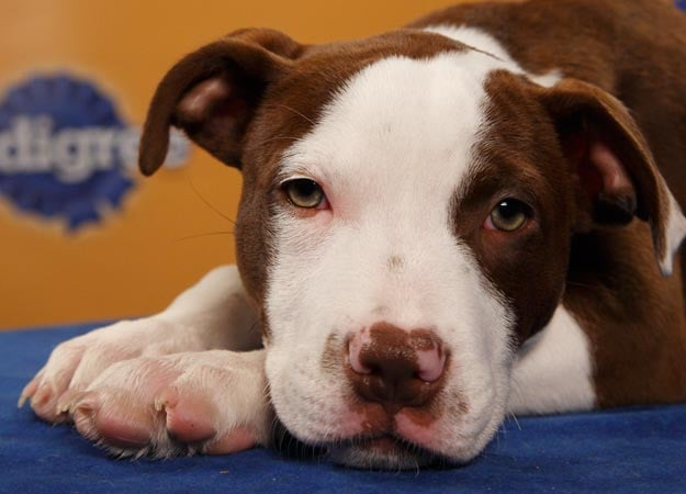 Lucie, a pit bull/collie mix, rests up in preparation for the big game. Source: Animal Planet