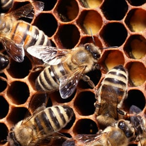 What's the Deal With Bee Venom Therapy?