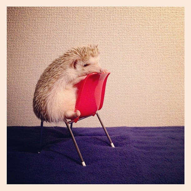 In a world dominated by cats and dogs, it's nice to see a different species on Instagram. Darcy the hedgehog does not disappoint. Source: Instagram user darcytheflyinghedgehog