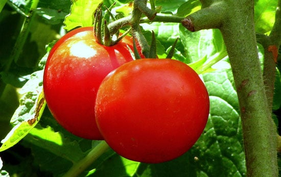 What Are Early Girl Tomatoes?