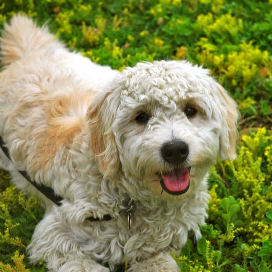Hypoallergenic Dog and Cat Breeds