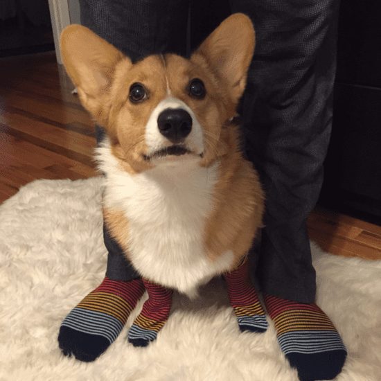 Cute Corgi Pictures