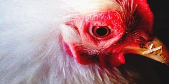 Undercover Footage Reveals 'Culture Of Animal Cruelty' On Tyson Farms