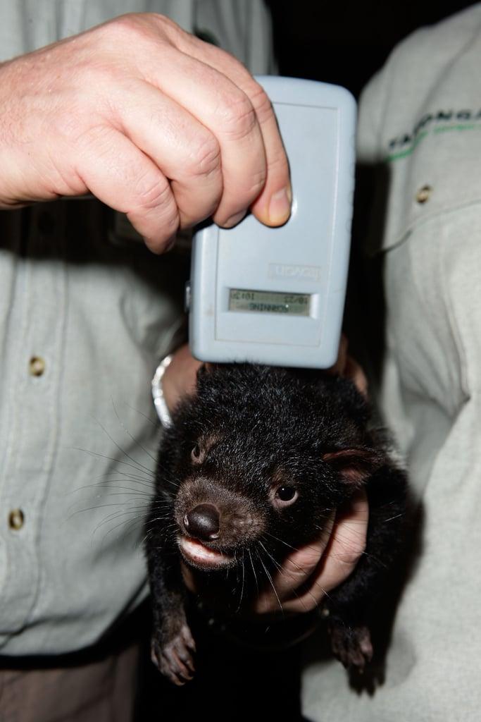 Tasmanian Devil Babies!
