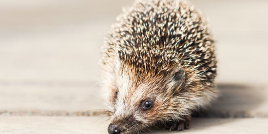 Hedgehog Champion Could Be The Cutest Job Around