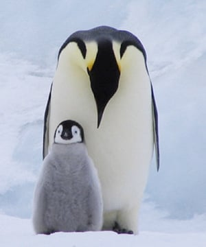 The largest of all the penguins, Emperor penguins were made (more) famous by the movie March of the Penguins. Emperors remain in Antarctica permanently, breeding on the sea ice in some of the coldest conditions on Earth. Source: Polar Cruises
