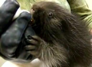 Cute Alert: Bottle-Fed Orphaned Baby Porcupine