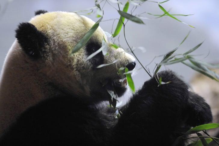 Tai Shan Goes Back to China on Feb. 4