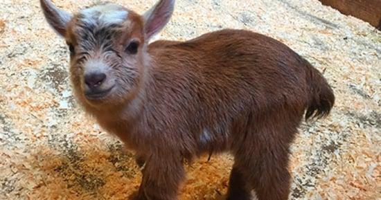 Boston Zoo's Newborn Baby Goat Is Too Cute To Handle