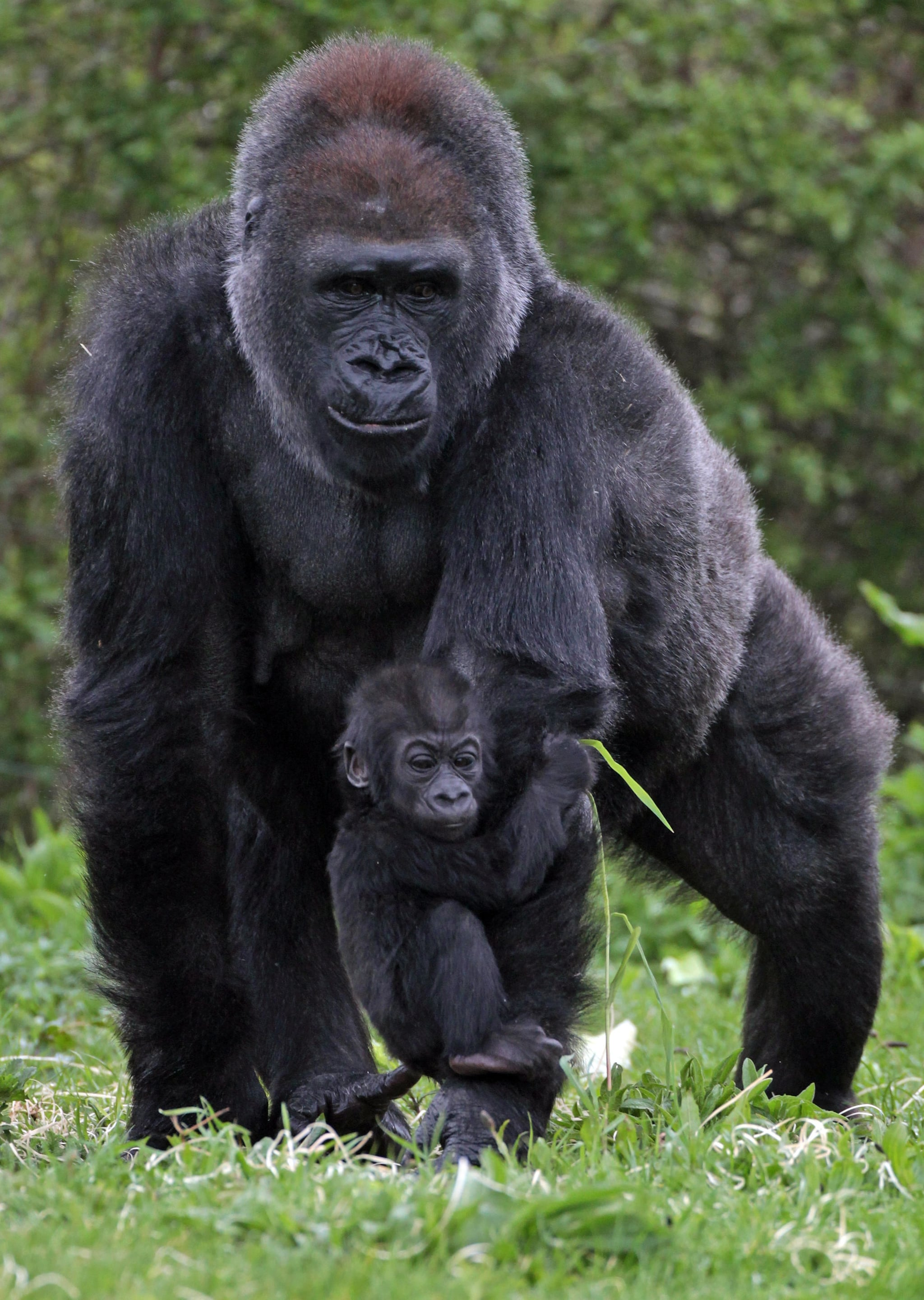 As a member of the smallest subspecies of gorilla, this baby western lowland gorilla will grow to be about five to six feet tall.
