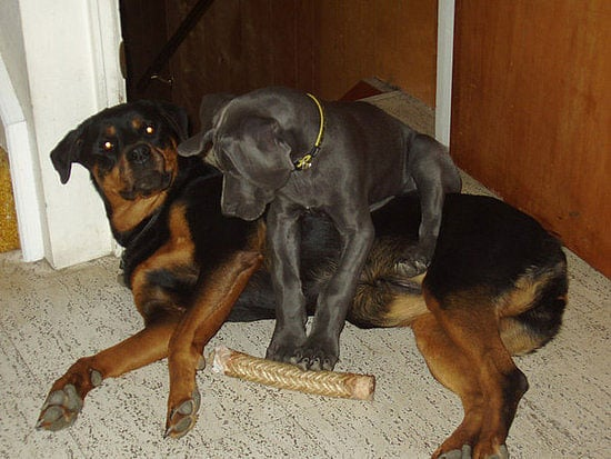 Great Golly! Greatly Growing Great Dane