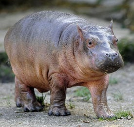 Sugar Shout Out: Kumba the Baby Hippo Measures Up!