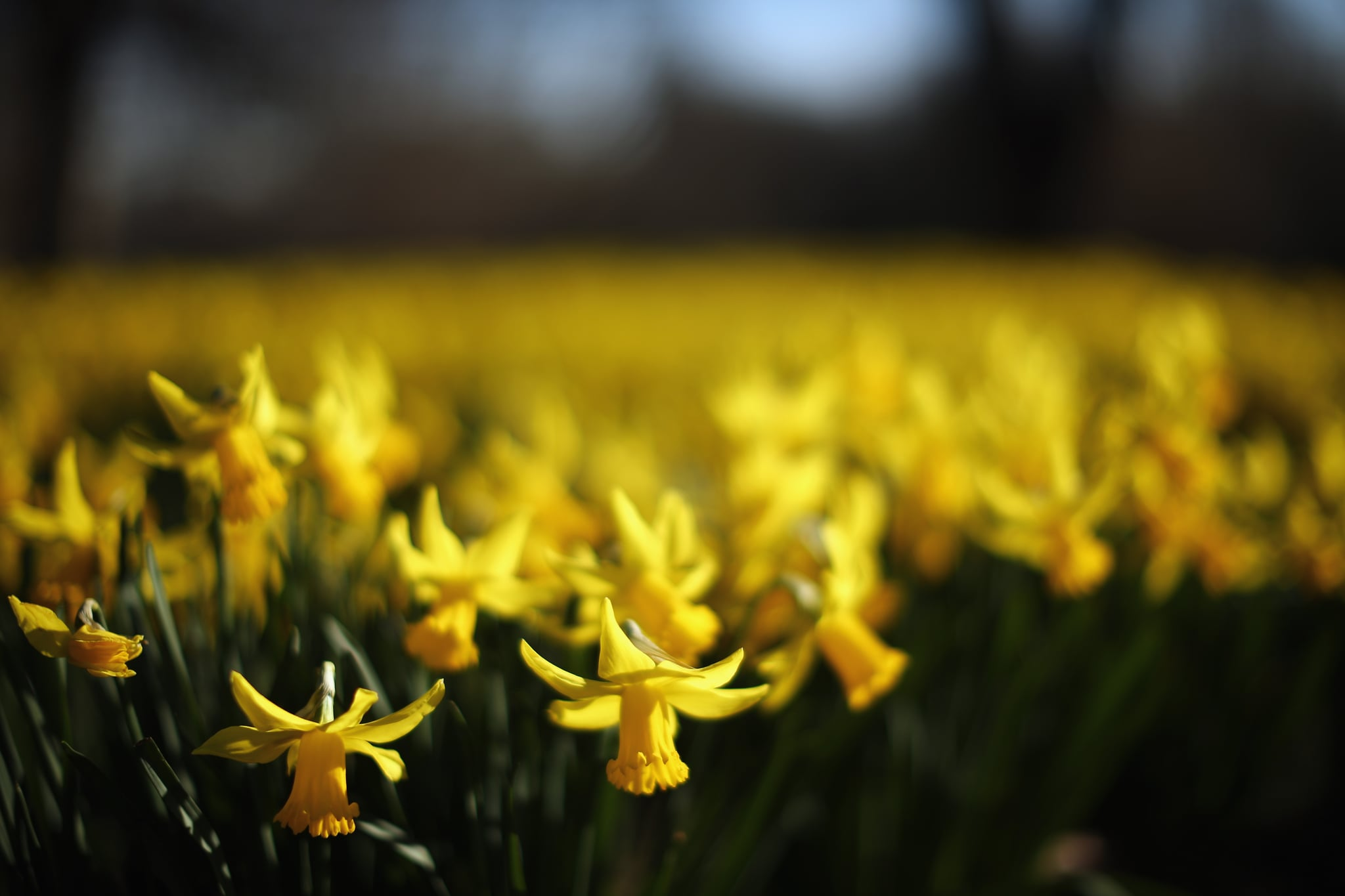 Bright yellow daffodils were popping up in London.