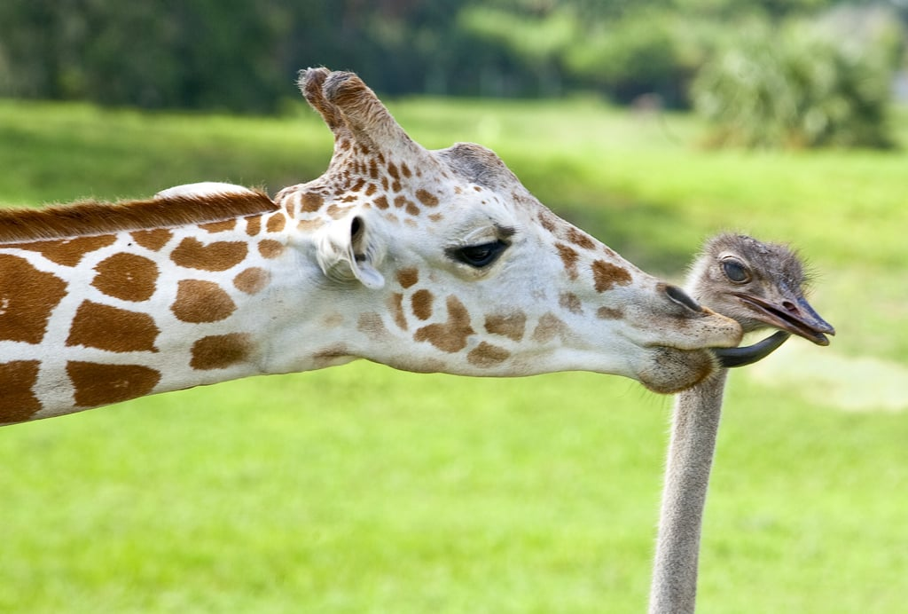 This ostrich must be sweet because his giraffe friend loves to shower him in kisses. Source: Flickr user SeaWorldFlorida